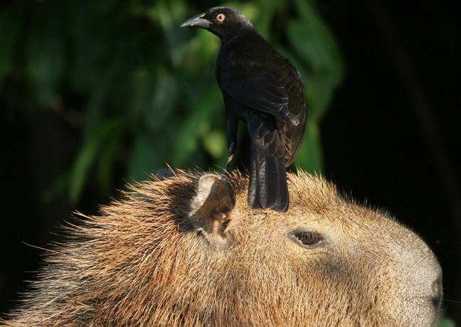 Observación de aves en Brasil