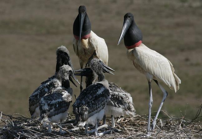 Principales regiones para el avistamiento de aves en Brasil
